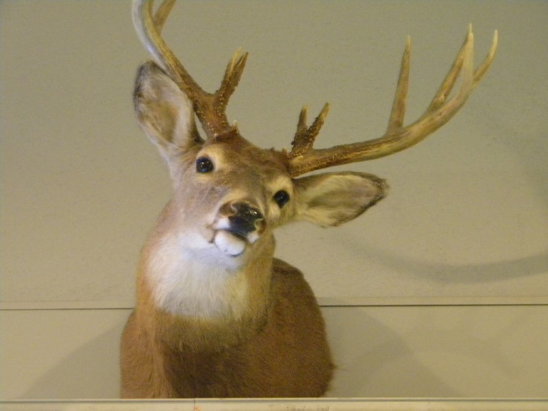 TAXIDERMY WHITE TAIL DEER MOUNT