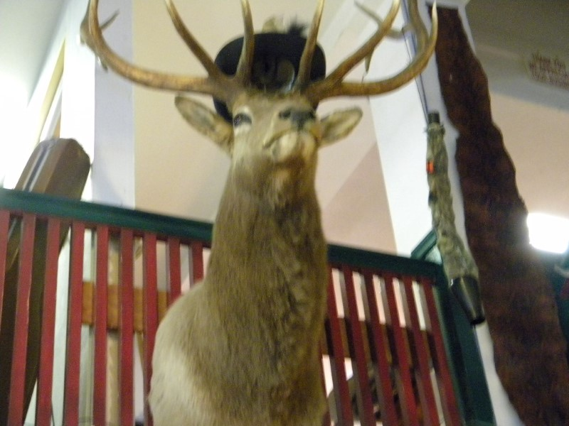 TAXIDERMY ELK MOUNT IN GREAT CONDITION