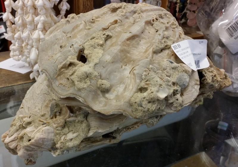 Giant Sea Scallops from Williamsburg Virgina - Pliocene Age