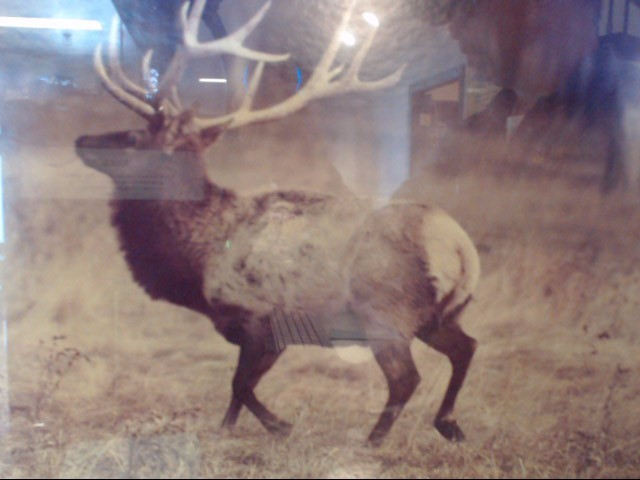 "GARY J LAMARRES ELK PHOTO 5/50 28.75""X23"" IN GREAT CONDITION"