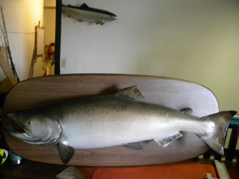 #49 MOUNTED KING SALMON