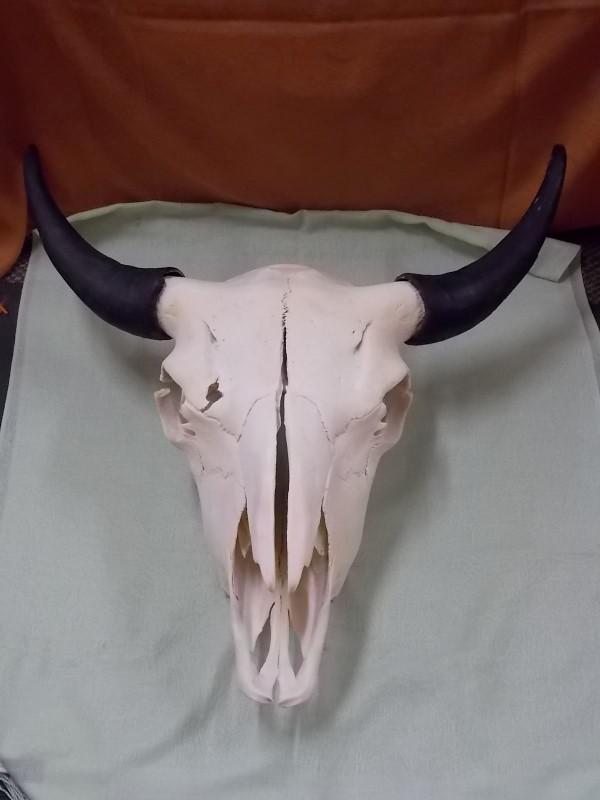 """Buffalo Bull Skull, 23-1/2"""" Horn to Horn"""
